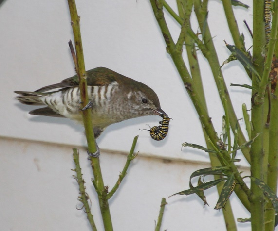 Juvenile shining cuckoo with monarch caterpillar, Upper Moutere. Image: Anna Barnett, New Zealand Birds Online