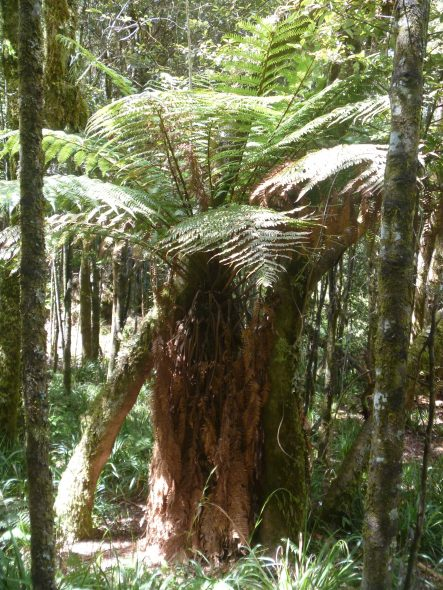 Whirinaki forest earlier in 2016. Note the clear view through the forest understory.