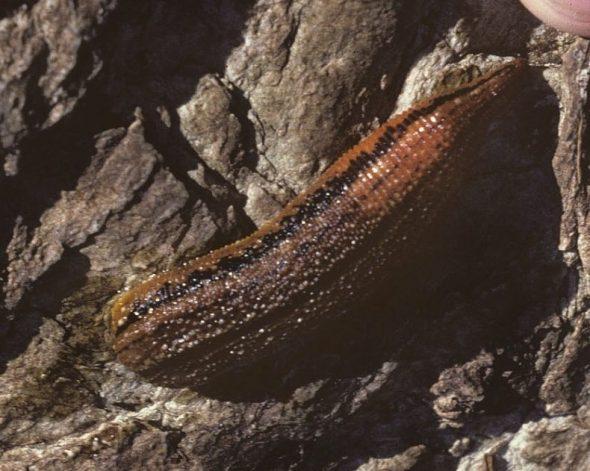 Taumaka leech (Hirudobdella antipodum), Taumaka, March 1988. Image: Colin Miskelly