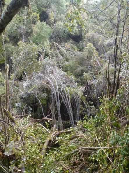 Whirinaki forest a few weeks ago.