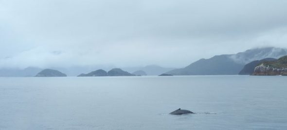 A humpback whale in Dusky Sound, with the Petrel Islands to the left, and Anchor Island to the right. Image: Jean-Claude Stahl, Te Papa