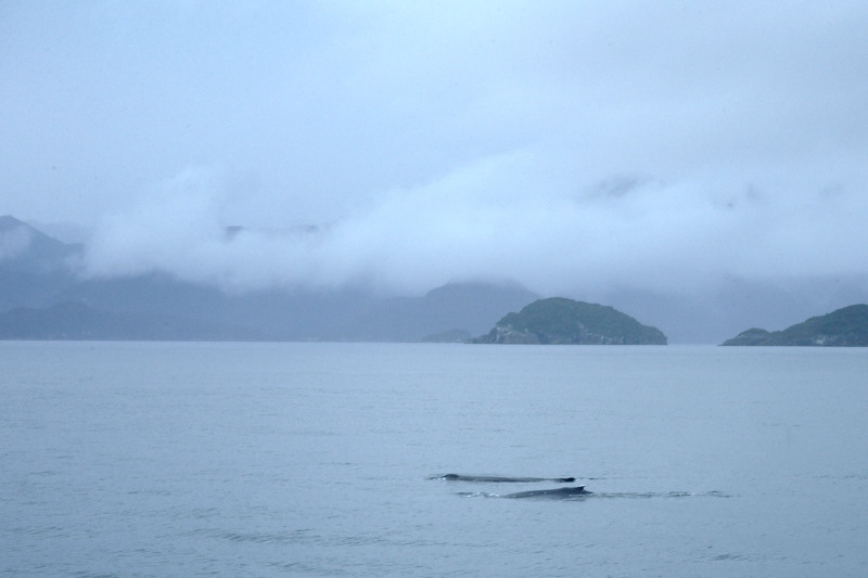 First glimpse of the two humpback whales at the entrance of Dusky Sound. Image: Jean-Claude Stahl, Te Papa.