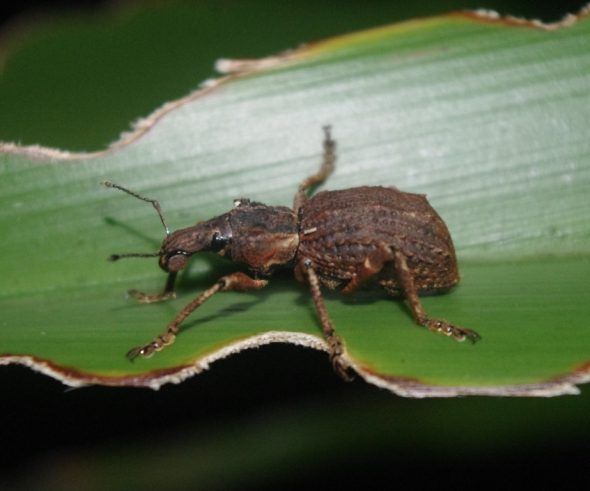 Flax weevil, islet off Anchor Island, Dusky Sound. Image: Colin Miskelly, Te Papa