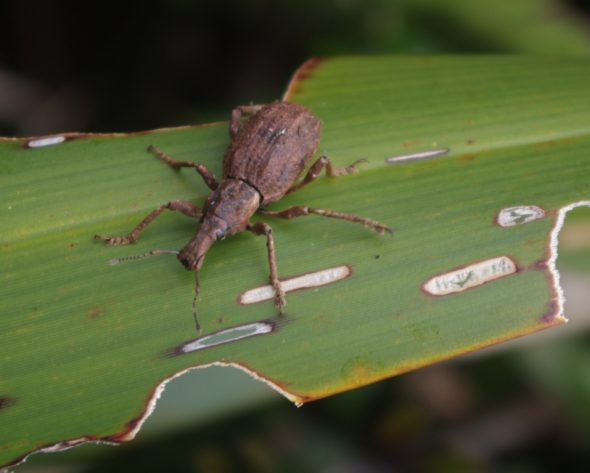 Flax weevil, unnamed island between Anchor Island and Pigeon Island, Dusky Sound. Image: Colin Miskelly, Te Papa