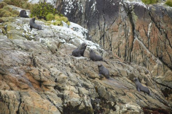 New Zealand fur seals on the Seal Islands, Dusky Sound. Image: Jean-Claude Stahl, Te Papa