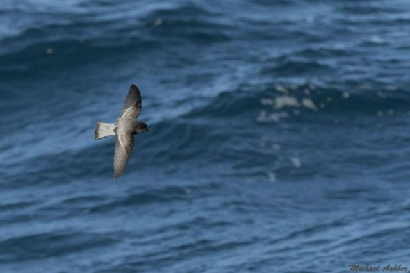 Grey-backed storm petrel at sea