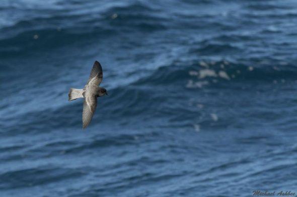 Grey-backed storm petrel at sea