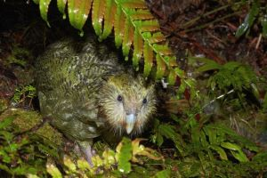 Kakapo on Anchor Island, November 2016. Image: Jean-Claude Stahl, Te Papa