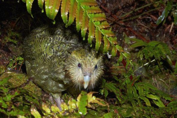 Kakapo on Anchor Island, November 2016. Image: Jean-Claude Stahl, Te Papa