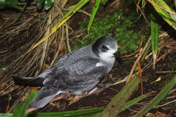 Mottled petrel, Dusky Sound, November 2016. Image: Colin Miskelly, Te Papa