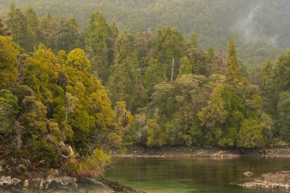 Rimu forest growing to the southern shoreline of Resolution Island, Dusky Sound. Image: Jean-Claude Stahl, Te Papa