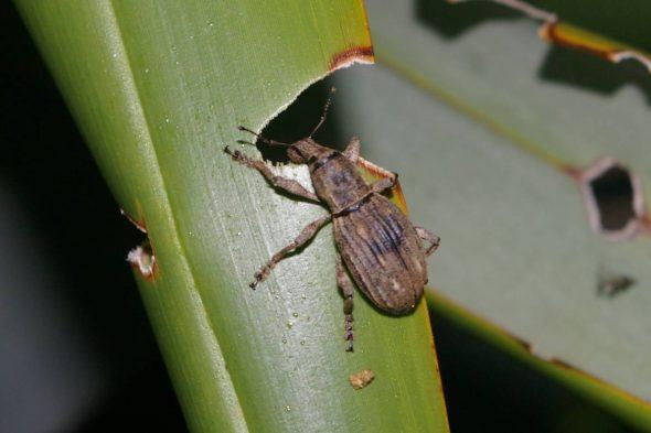 pki-flax-weevil