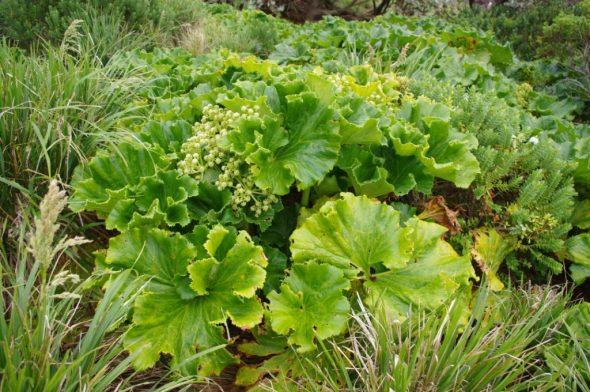 Punui (Stilbocarpa robusta), Snares Islands. Image: Colin Miskelly, Te Papa