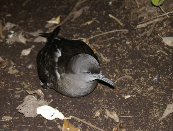 Sooty shearwater. Image: Colin Miskelly, Te Papa