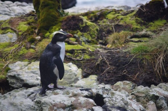 Adult tawaki / Fiordland crested penguin, Dusky Sound, November 2016. Image: Colin Miskelly, Te Papa