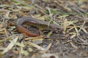 Copper skink (Oligosoma aeneum). Papa Aroha, January 2017. Image: Colin Miskelly