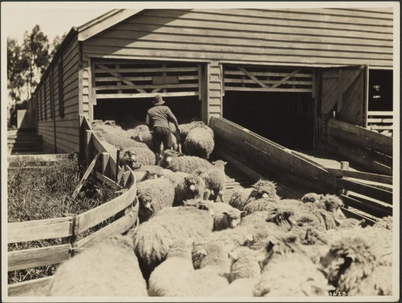 Sheep entering shearing shed, New Zealand, 1920s, New Zealand, by Eric Lee-Johnson. Purchased 1997 with New Zealand Lottery Grants Board funds. Te Papa (O.007549)