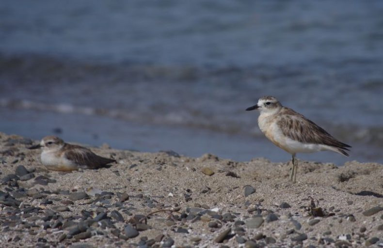 New Zealand dotterels, Papa Aroha, December 2016. Image: Colin Miskelly
