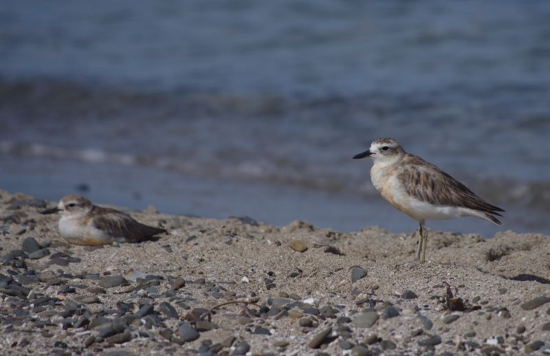 Dotterels on a beach