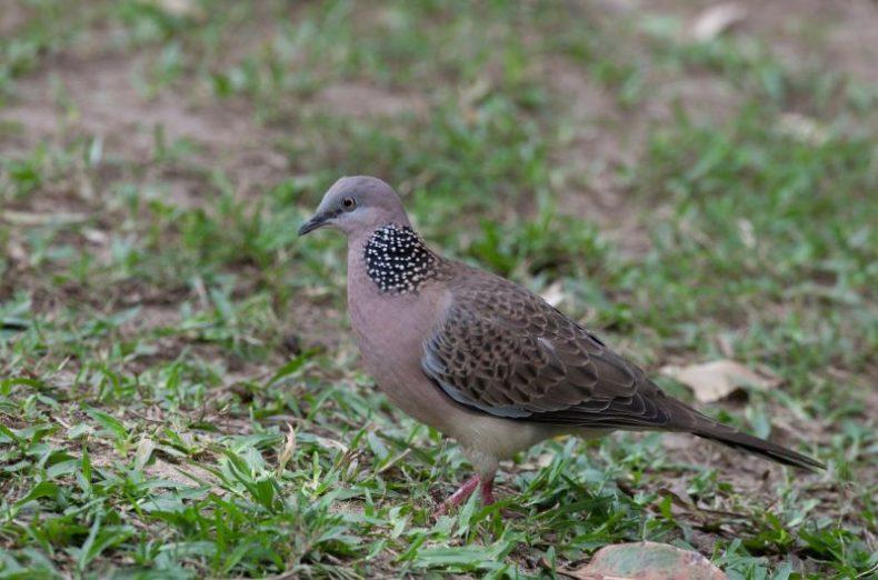 Spotted dove. Image: Sonja Ross, NZ Birds Online