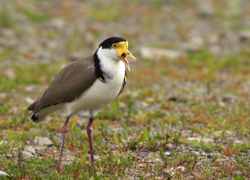 Black and white bird with yellow face