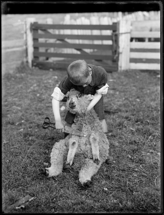 A young boy posing as a sheep shearer, demonstrating the colonial technique. Northwood brothers :Photographs of Northland. Ref: 1/1-006299-G. Alexander Turnbull Library, Wellington, New Zealand. http://natlib.govt.nz/records/22555418