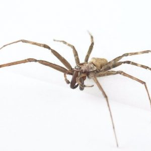 Male sheetweb spider