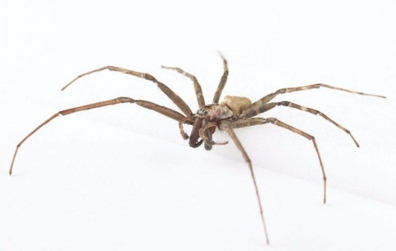 Male sheetweb spider