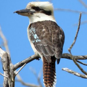 Laughing kookaburra, Campbells Beach, Tawharanui, August 2016. Image: Scott Brooks, New Zealand Birds Online