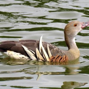 The 11,000th image – a plumed whistling duck at Anderson Park, Taradale, December 2016. Image: Scott Brooks, New Zealand Birds Online