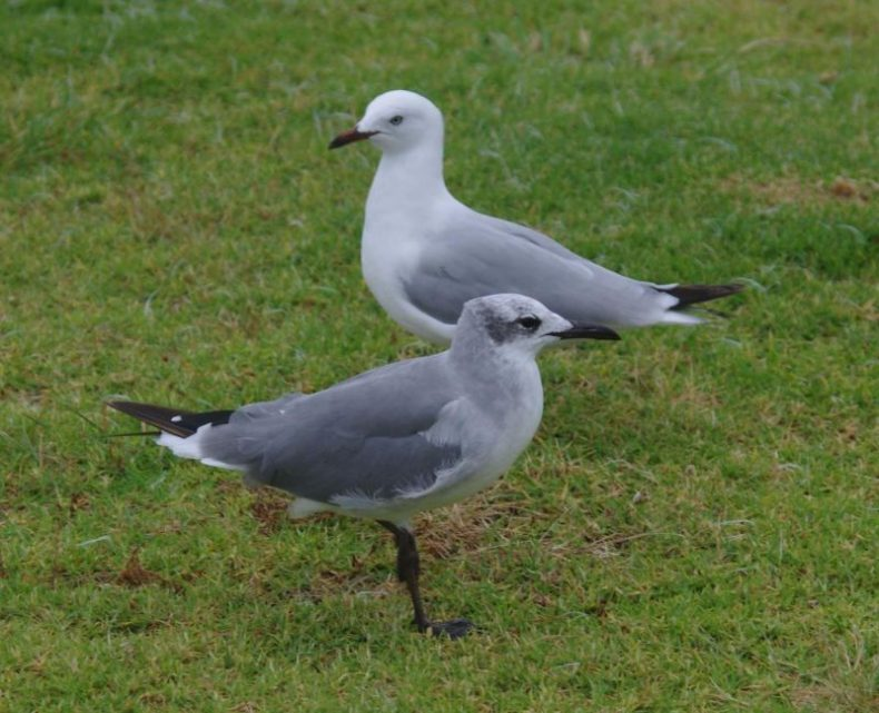 Immature laughing gull (front) with subadult red-billed gull