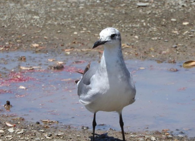 New Zealand's first laughing gull