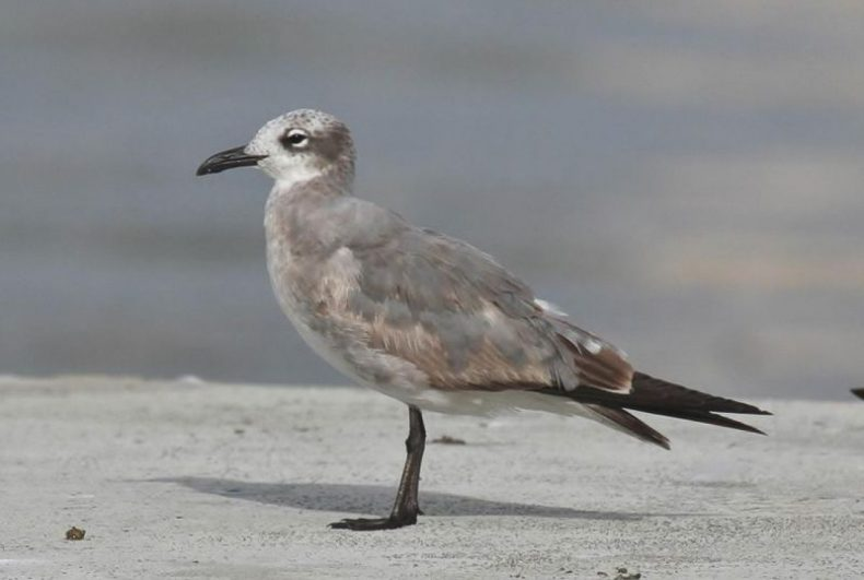 Immature laughing gull