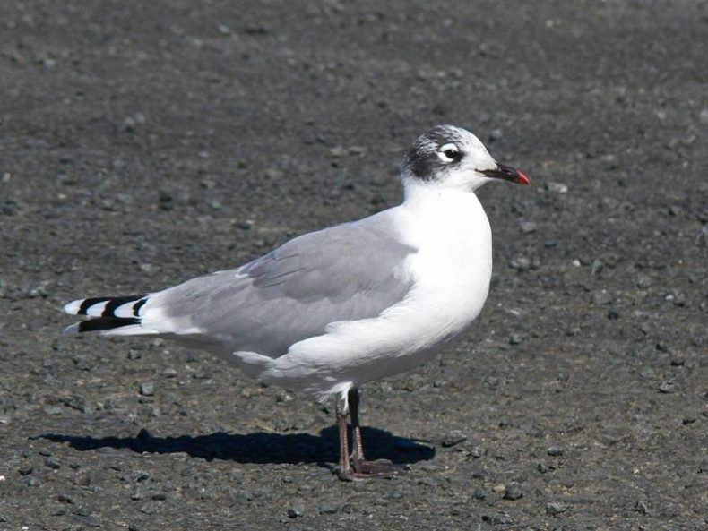 Non-breeding Franklin's gull