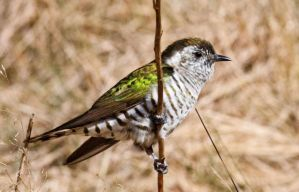 Shining cuckoo. Photograph by Nathan Hill, New Zealand Birds Online