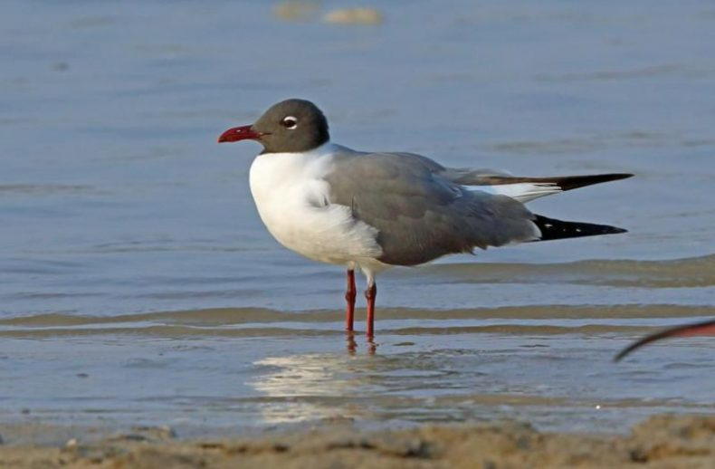 Laughing gull in breeding plumage, Mexico, March 2015. Image: Nigel Voaden, New Zealand Birds Online