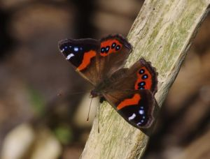 Red admiral butterfly (Vanessa gonerilla). Photograph by Colin Miskelly, Te Papa