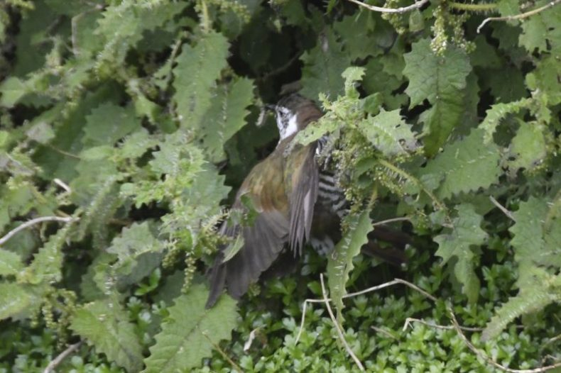 Shining cuckoo in tree nettle, grabbing a red admiral butterfly caterpillar. Photograph by Gerry McSweeney. Wilderness Lodge Lake Moeraki
