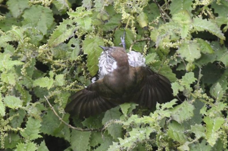 Shining cuckoo seeking red admiral butterfly caterpillars in tree nettle. Photographs by Gerry McSweeney. Wilderness Lodge Lake Moeraki
