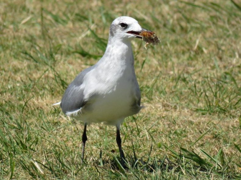 Laughing gull with chicken food scraps