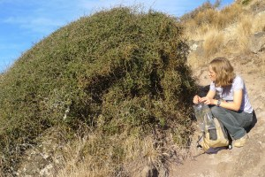 Collecting genetic samples from prostrate kōwhai (Sophora prostrata) on the POrt Hills. This species is restricted to the eastern South Island and has zig-zag branches with small leaves and flowers. Photo: Leon Perrie.