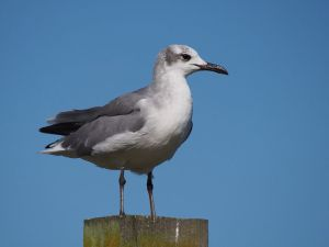 New Zealand's first laughing gull, Opotiki wharf, January 2017. Image: Thomas Musson, New Zealand Birds Online