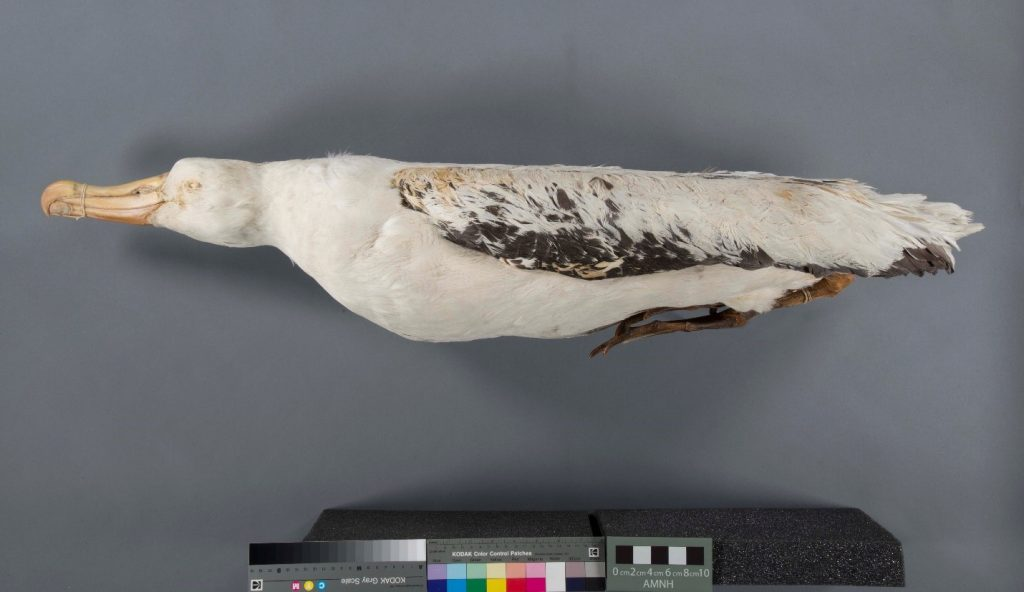 taxidermy albatross