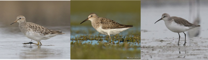 Cox's sandpiper, middle, with its parent species pectoral sandpiper, left, and curlew sandpiper, right