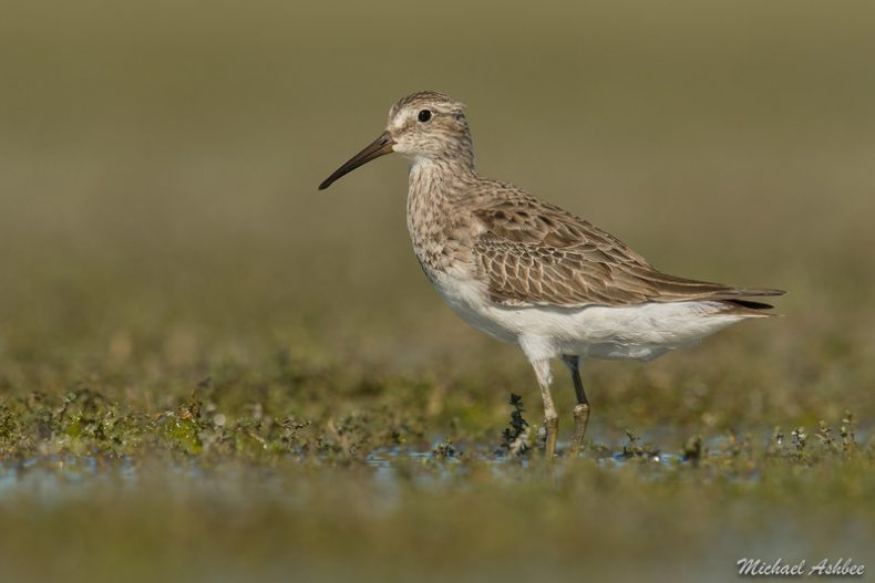 New Zealand's first Cox's sandpiper