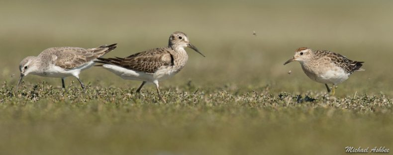 New Zealand's first Cox's sandpiper, centre, with a curlew sandpiper, left, and a sharp-tailed sandpiper, right