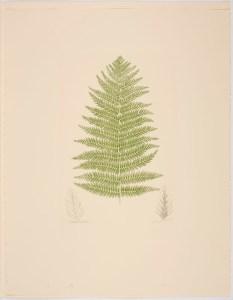 Leptopteris hymenophylloides (A. Richard) C. Presl; Plate 584