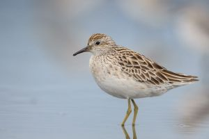 Sharp-tailed sandpiper. Photograph: Tony Whitehead, NZ Birds Online