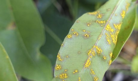 A leaf with yellow myrtle rust on it