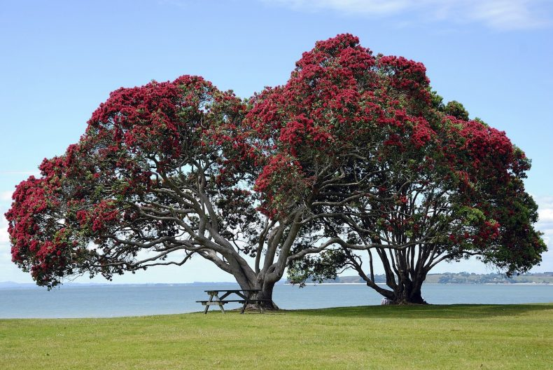 Pohutukawa is a striking member of the Myrtaceae family.